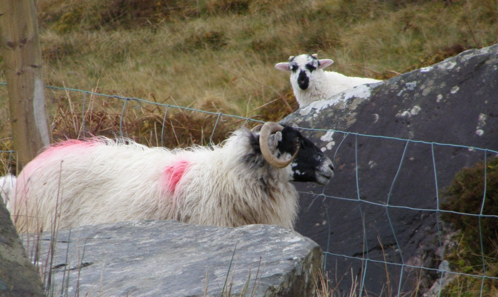 Better than branding - the painted sheep of Ireland